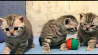 litter_x_3_weeks (британские котята окраса вискас).avi