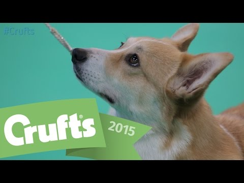 Best of Breed - Corgi and winner's interview | Crufts 2015
