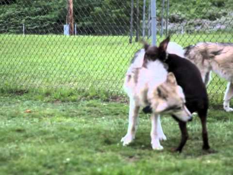 Doberman vs Wolf - YouTube