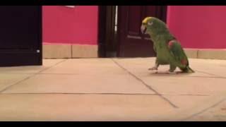 HeHeHee diye bağıran papağan
