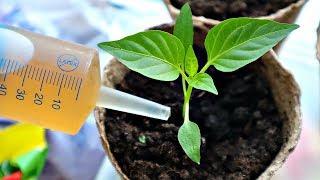 Активизирует мощный рост рассады через 2 часа после внесения в почву! Подкормка рассады чаем!