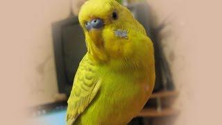 Говорящий попугай Кеша. Патриот Украины.