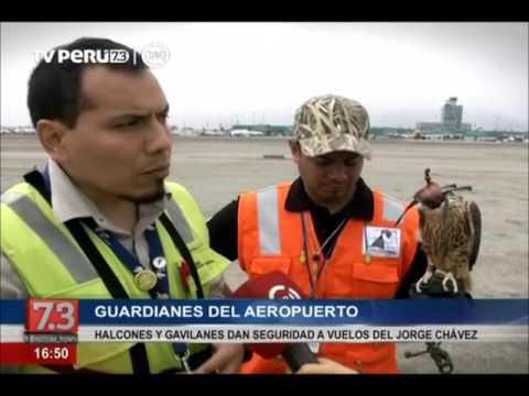 Halcones y gavilanes dan seguridad a vuelos del aeropuerto Jorge Chávez