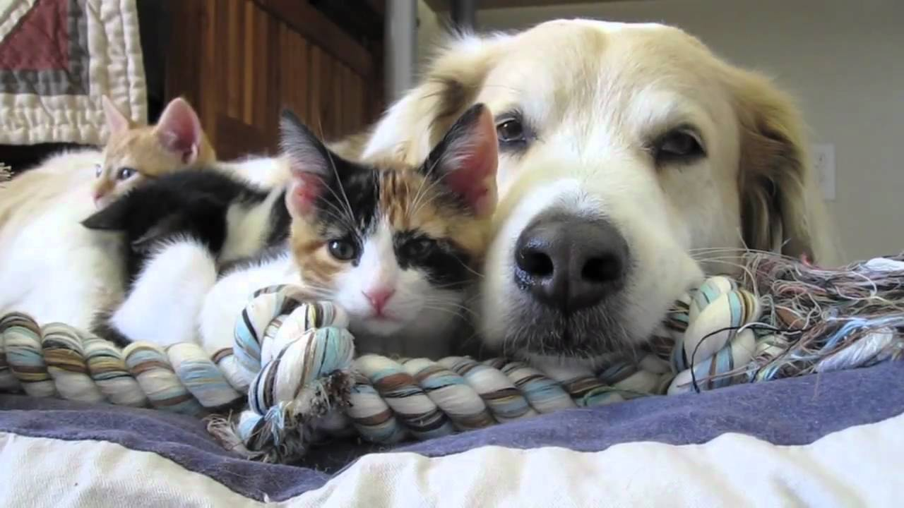 Video 39 Murkin The Dog Falls Asleep With His Kittens
