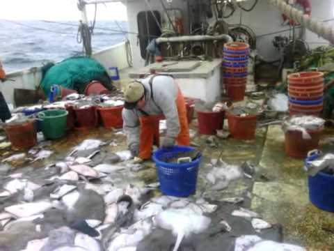 Flounder trawl with capt jeffrey hopkins