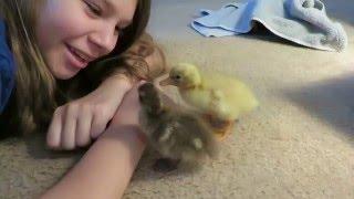 We hatched baby Ducks!