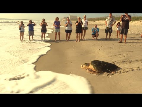 Rehabilitated Turtle Released Into Florida Ocean Before Hurricane Irma Arrives