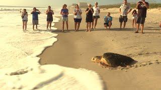 Rehabilitated Turtle Released Into Florida Ocean Before Hurricane Irma Arrives