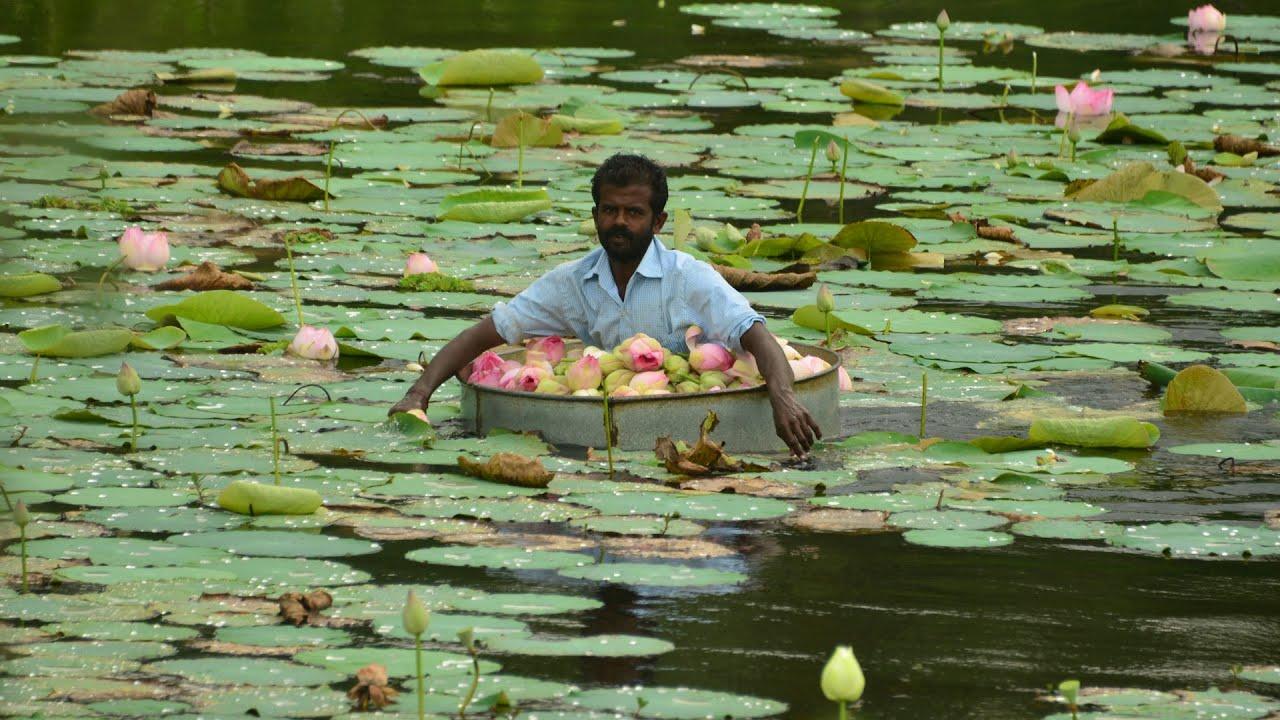 Lotus pickers in nagercoil tamil nadu india youtube lotus pickers in nagercoil tamil nadu india izmirmasajfo