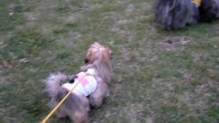 ラサアプソのルビィ!お散歩デビュー映像 ダンディ、リリィとルビィ3ワ...