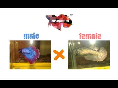 Choosing a good pair of betta fish in breeding. (part1 of BETTA FISH BREEDING)