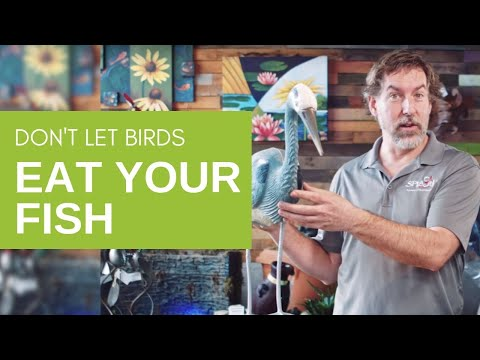 How To Stop Predators From Eating Your Pond Fish