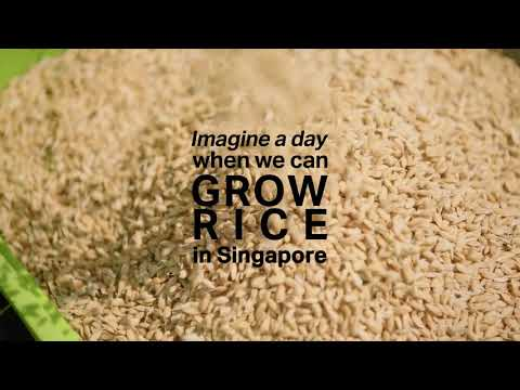 Growing rice in Singapore? It's not an urban legend!