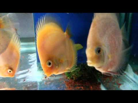 Red&white, Snow, Golden Melon, Allenquer Discus