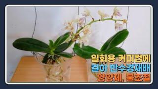 일회용 커피컵에 대엽풍간 반수경재배, 영양제/Dispo…
