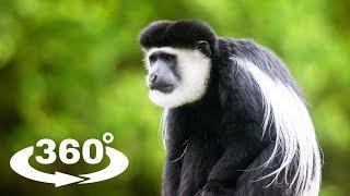 GEREZA ABISYŃSKA (MANTLED GUEREZA) - ZOO CHORZÓW 360° (VR)
