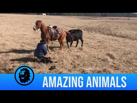 Horse Protects Rancher From Cows As He Tags Calves
