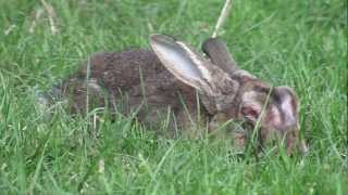 About Rabbit Myxomatosis