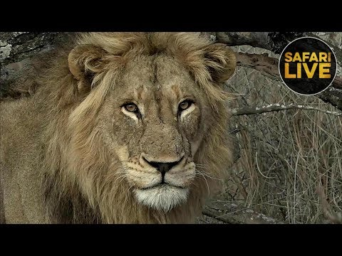 safariLIVE - Sunrise Safari - November 3, 2018