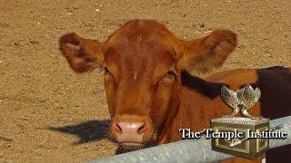 Raise a Red Heifer in Israel  /  לגדל פרה אדומה בארץ ישראל