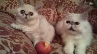 Персидская и экзотическая шиншилла кошки