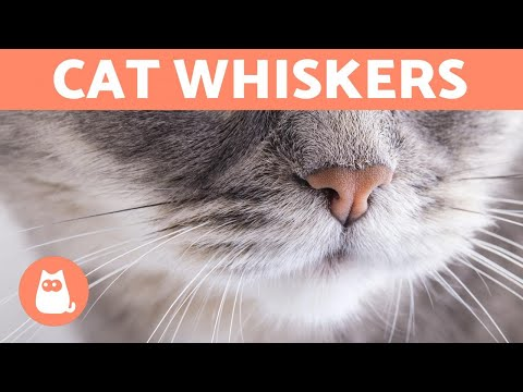 Why Do CATS Have WHISKERS? - What Are They For?