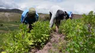 Quinoa in Peru increasingly only for the wealthy