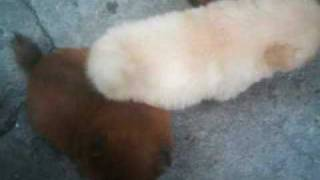 3 week old Chow chow puppies