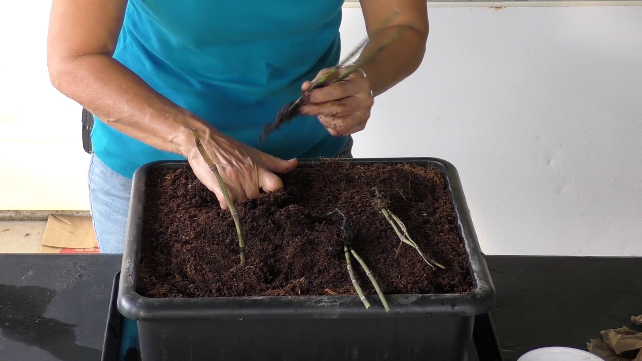 Planting Propagating Horsetail Included With Alternatives To Dentists