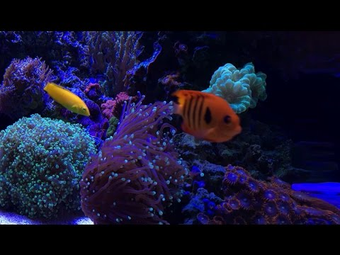 How to Remove Nitrates - New corals, Fish & Shrimp - Reef Update