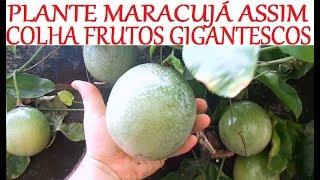 Tutorial Completo Sobre o Cultivo de Maracujá – Plantio e Colheita