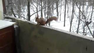Белка на балконе, Харьков, Алексеевка.(Белка атакует балкон и пугает меня и кота., 2010-09-03T20:26:25.000Z)