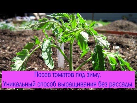 Посев томатов под зиму. Уникальный способ выращивания без рассады. Выпуск 198