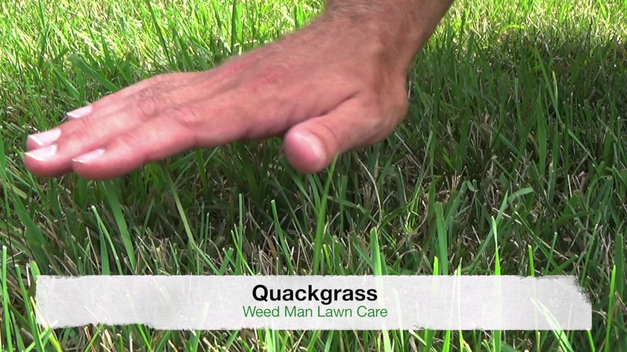 Crabgrass Vs Quackgrass Or Tall Fescue Weedy Grasses Youtube