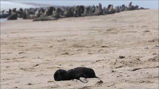 Namibia: More than 7,000 dead seals found along coast, according to NGO