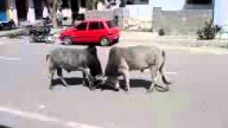 Road Bull Fight in India...