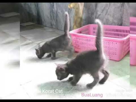 Korat Thai Cat by BuaLuang บัวหลวงแมวไทย