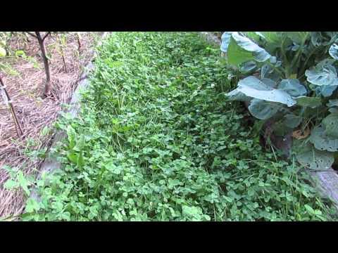 Клевер вместо газонной травы на даче...