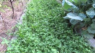 Клевер вместо газонной травы на даче...(, 2015-08-12T15:18:52.000Z)