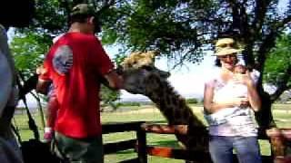 Park Lwów, karmienie żyrafy