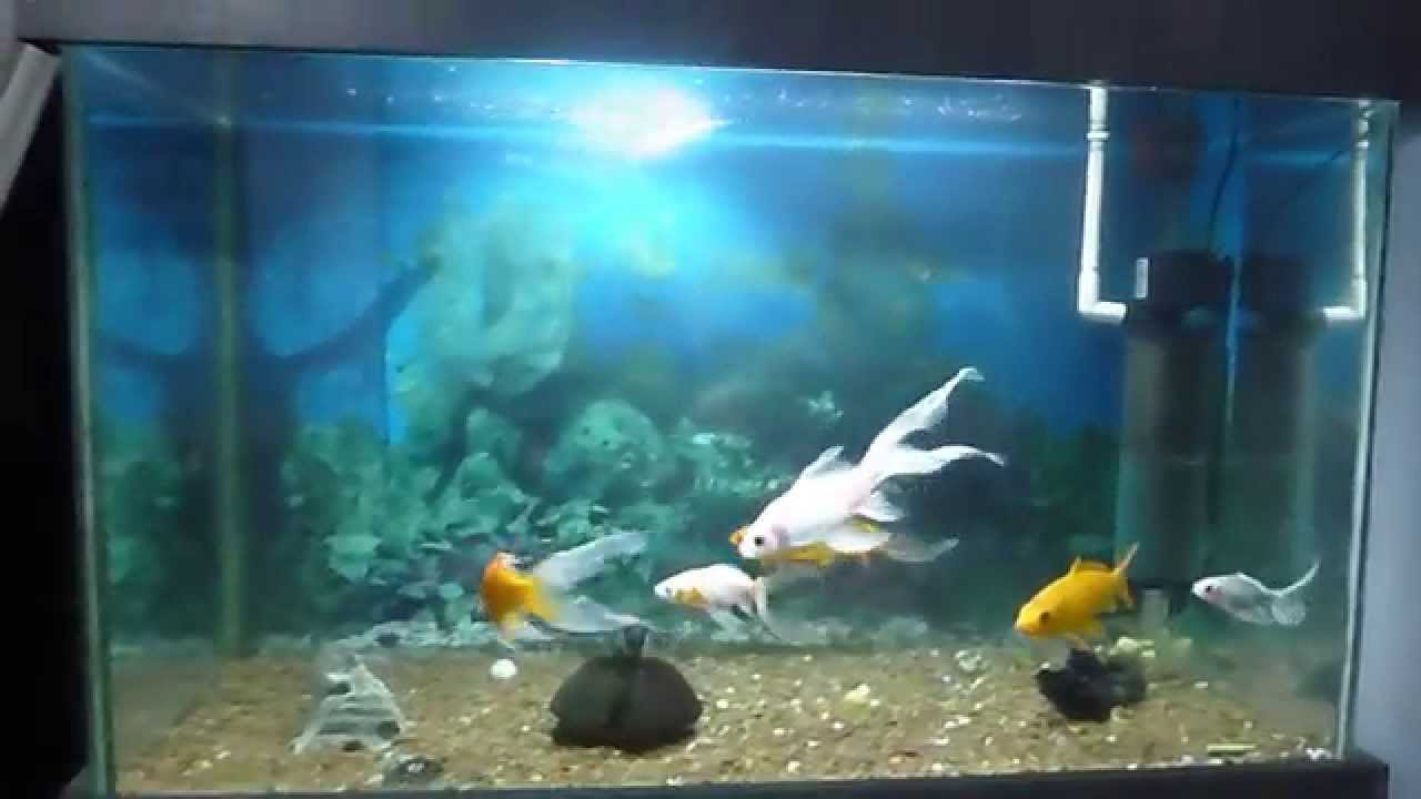 Acuario goldfish carpas koi y corydoras youtube for Carpas para acuario