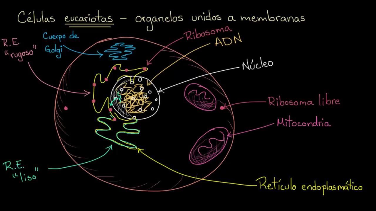 Organelos en células eucariotas | Khan Academy en Español - YouTube