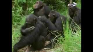 Поведение животных: Человекоподобные обезьяны