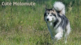 Alaskan Malamute hunting