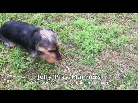 "1yo Dachshund/Yorkie Mix ""Jelly"" Before and After - Small Dog Training Raleigh Durham"