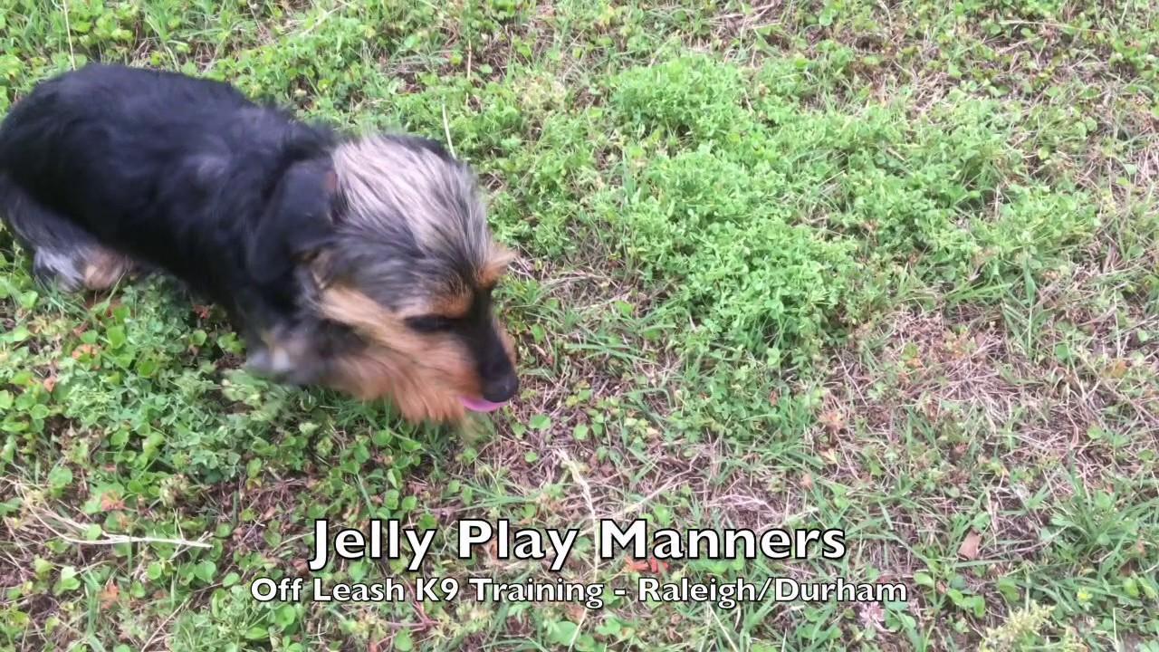 1yo Dachshund Yorkie Mix Jelly Before