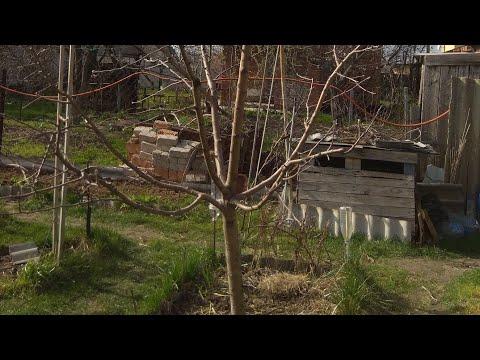 Вопрос: Если плодовое дерево выгонять в рост, оно меньше плодоносит?
