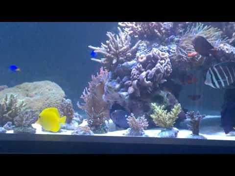 Mano´s Reef - Domino Damselfish