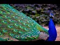 Latest Rare Peacock images,Peacock Pictures,Peacock Photos,Peacock Wallpapers Video