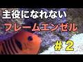 なぜか主役になれないフレームエンゼル#2【海水魚水槽】
